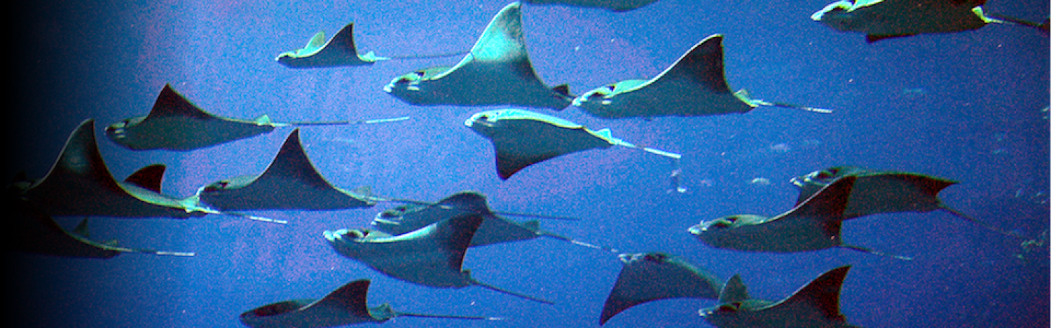 Cownose Ray  Slaughters