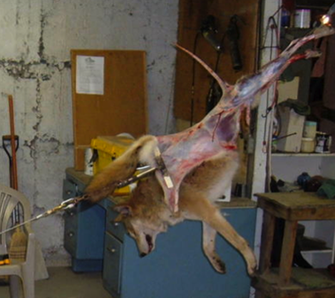 Coyote Having It S Skin Pulled Off With A Winch